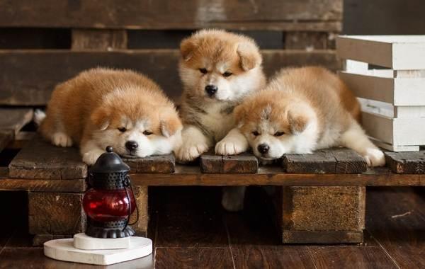 Акита-ину-собака-Описание-особенности-виды-уход-содержание-и-цена-породы-акита-ину-7