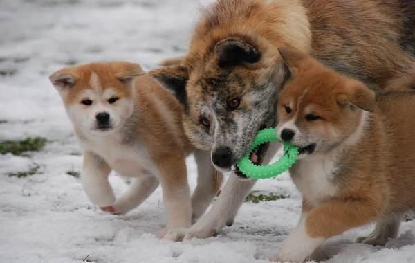 Акита-ину-собака-Описание-особенности-виды-уход-содержание-и-цена-породы-акита-ину-8