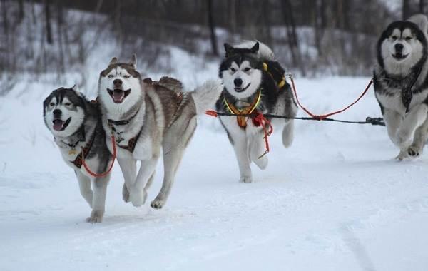 Аляскинский-маламут-собака-Описание-особенности-виды-уход-содержание-и-цена-породы-10