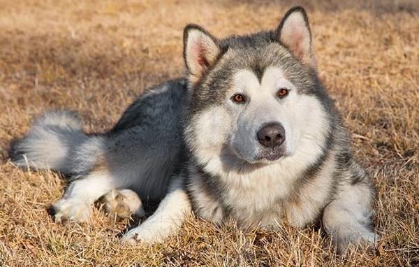 Аляскинский-маламут-собака-Описание-особенности-виды-уход-содержание-и-цена-породы-11