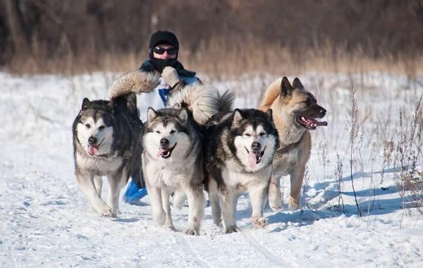 Аляскинский-маламут-собака-Описание-особенности-виды-уход-содержание-и-цена-породы-15