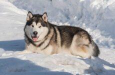 Аляскинский маламут собака. Описание, особенности, виды, уход, содержание и цена породы
