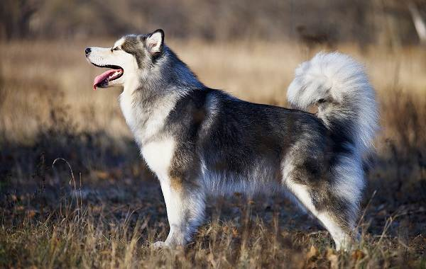 Аляскинский-маламут-собака-Описание-особенности-виды-уход-содержание-и-цена-породы-7