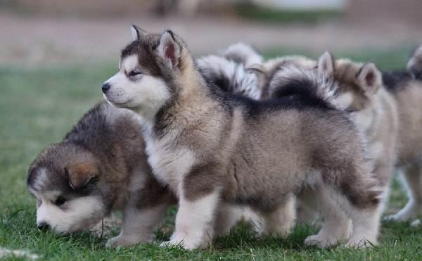 Аляскинский-маламут-собака-Описание-особенности-виды-уход-содержание-и-цена-породы-8