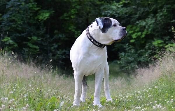 Американский-бульдог-собака-Описание-особенности-виды-уход-и-цена-породы-12