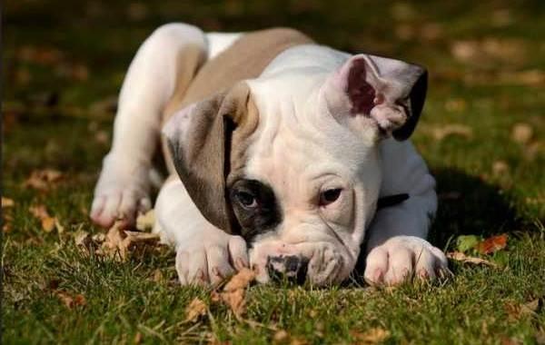 Американский-бульдог-собака-Описание-особенности-виды-уход-и-цена-породы-5