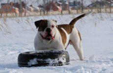 Американский бульдог собака. Описание, особенности, виды, уход и цена породы