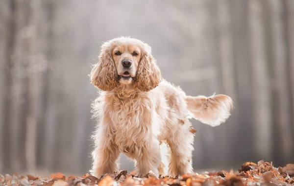 Американский-кокер-спаниель-собака-Описание-особенности-уход-и-цена-породы-1