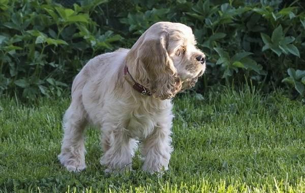 Американский-кокер-спаниель-собака-Описание-особенности-уход-и-цена-породы-10