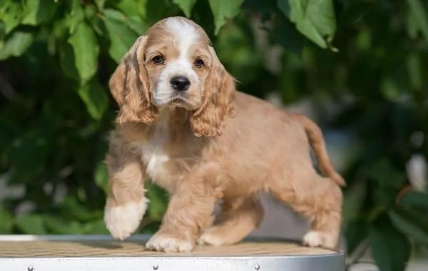 Американский-кокер-спаниель-собака-Описание-особенности-уход-и-цена-породы-11