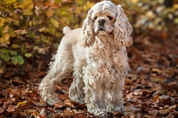 Американский-кокер-спаниель-собака-Описание-особенности-уход-и-цена-породы-12