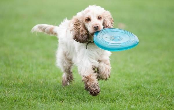 Американский-кокер-спаниель-собака-Описание-особенности-уход-и-цена-породы-13
