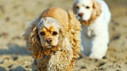 Американский кокер спаниель собака. Описание, особенности, уход и цена породы
