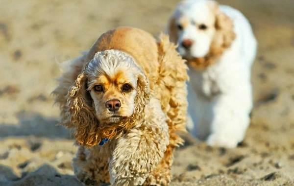 Американский-кокер-спаниель-собака-Описание-особенности-уход-и-цена-породы-3