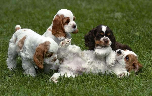 Американский-кокер-спаниель-собака-Описание-особенности-уход-и-цена-породы-4