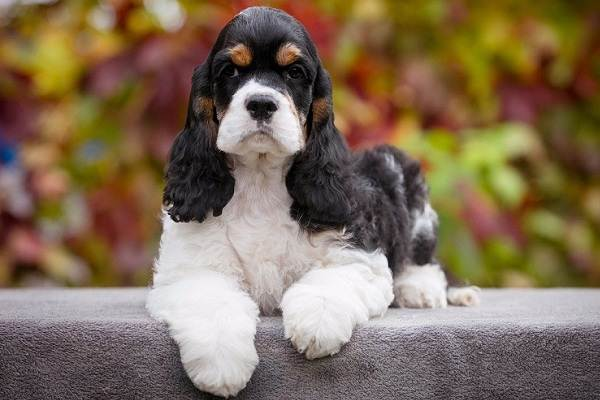 Американский-кокер-спаниель-собака-Описание-особенности-уход-и-цена-породы-5
