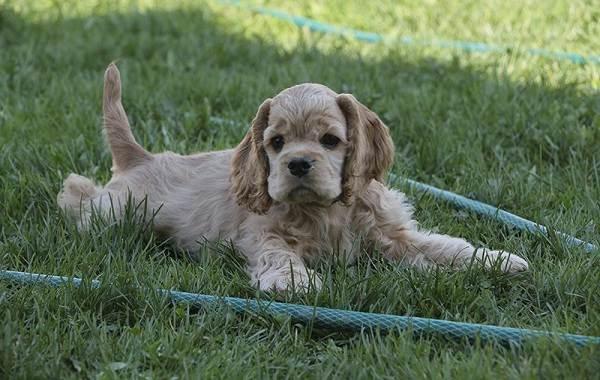Американский-кокер-спаниель-собака-Описание-особенности-уход-и-цена-породы-9