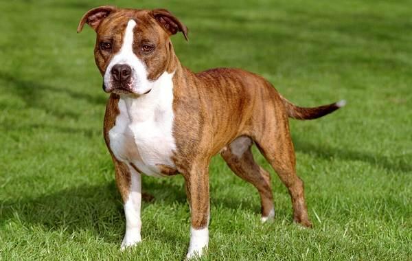 Американский-стаффордширский-терьер-собака-Описание-особенности-уход-и-цена-породы-1