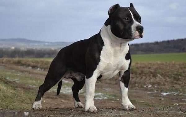 Американский-стаффордширский-терьер-собака-Описание-особенности-уход-и-цена-породы-12
