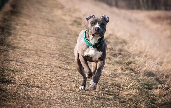 Американский-стаффордширский-терьер-собака-Описание-особенности-уход-и-цена-породы-14