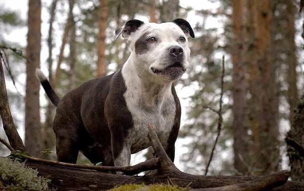 Американский-стаффордширский-терьер-собака-Описание-особенности-уход-и-цена-породы-15