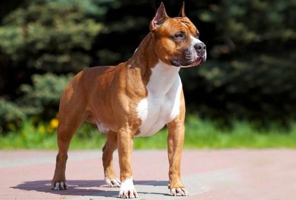 Американский-стаффордширский-терьер-собака-Описание-особенности-уход-и-цена-породы-2