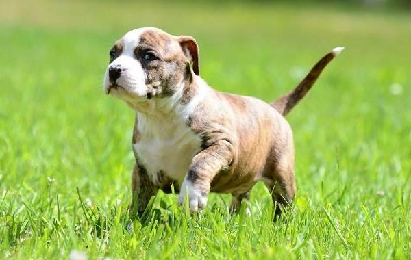 Американский-стаффордширский-терьер-собака-Описание-особенности-уход-и-цена-породы-4