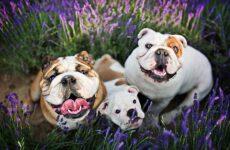Английский бульдог собака. Описание, особенности, виды, уход, содержание и цена породы