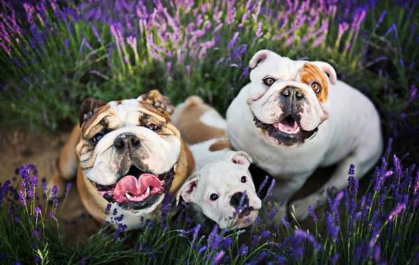 Английский-бульдог-собака-Описание-особенности-виды-уход-содержание-и-цена-породы-10