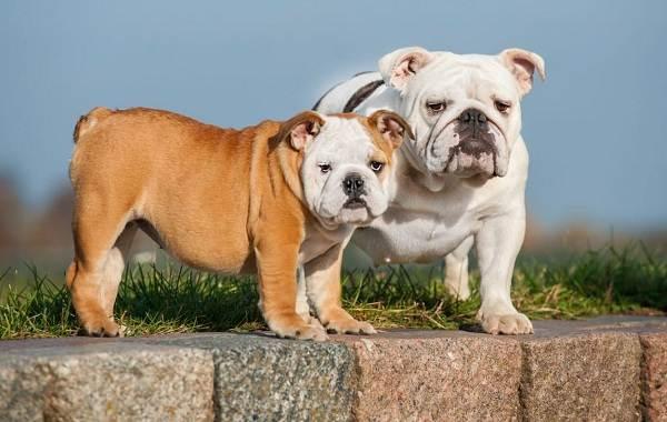 Английский-бульдог-собака-Описание-особенности-виды-уход-содержание-и-цена-породы-5