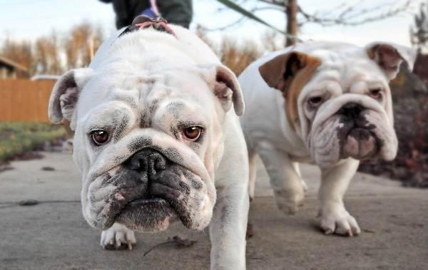 Английский-бульдог-собака-Описание-особенности-виды-уход-содержание-и-цена-породы-6