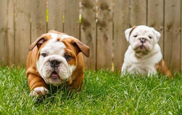 Английский-бульдог-собака-Описание-особенности-виды-уход-содержание-и-цена-породы-7