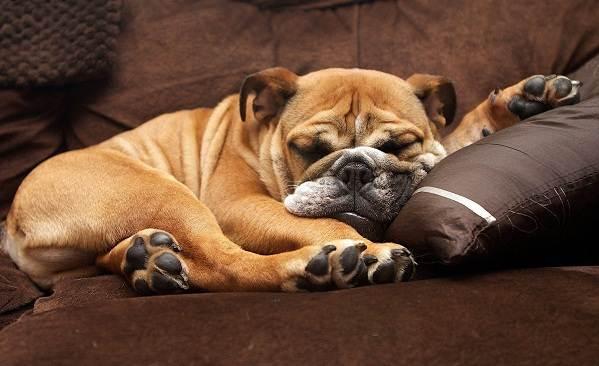Английский-бульдог-собака-Описание-особенности-виды-уход-содержание-и-цена-породы-8