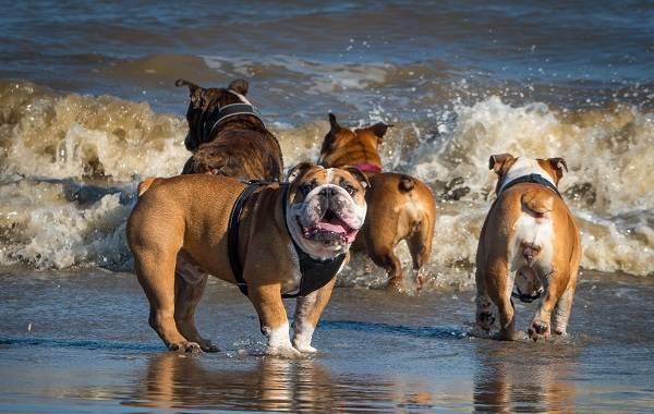 Английский-бульдог-собака-Описание-особенности-виды-уход-содержание-и-цена-породы-9