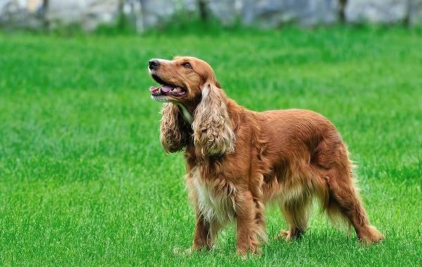 Английский-кокер-спаниель-собака-Описание-особенности-уход-содержание-и-цена-породы-1