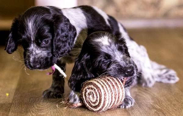 Английский-кокер-спаниель-собака-Описание-особенности-уход-содержание-и-цена-породы-10