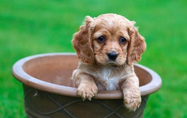Английский-кокер-спаниель-собака-Описание-особенности-уход-содержание-и-цена-породы-11