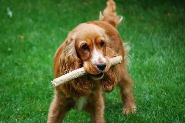 Английский-кокер-спаниель-собака-Описание-особенности-уход-содержание-и-цена-породы-12