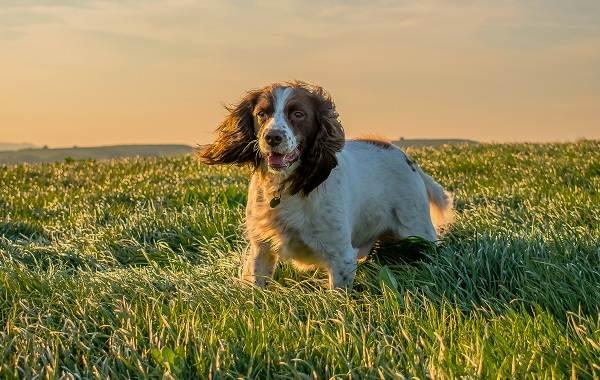 Английский-кокер-спаниель-собака-Описание-особенности-уход-содержание-и-цена-породы-13