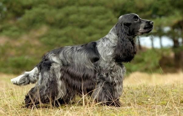 Английский-кокер-спаниель-собака-Описание-особенности-уход-содержание-и-цена-породы-4