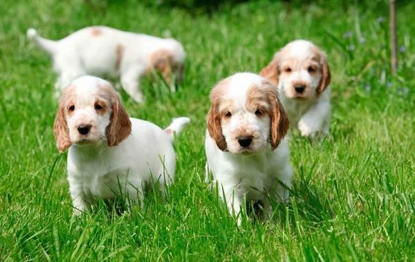 Английский-кокер-спаниель-собака-Описание-особенности-уход-содержание-и-цена-породы-5