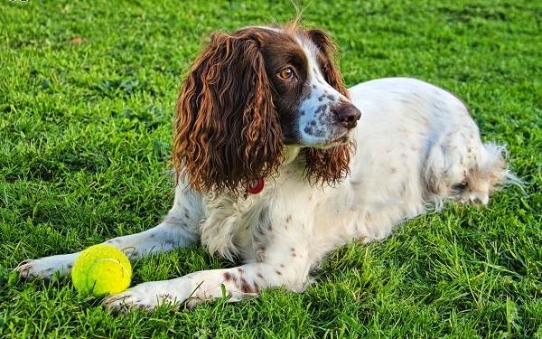 Английский-кокер-спаниель-собака-Описание-особенности-уход-содержание-и-цена-породы-6