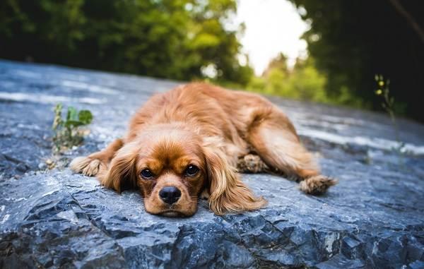 Английский-кокер-спаниель-собака-Описание-особенности-уход-содержание-и-цена-породы-7