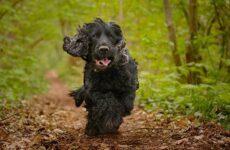 Английский кокер спаниель собака. Описание, особенности, уход, содержание и цена породы