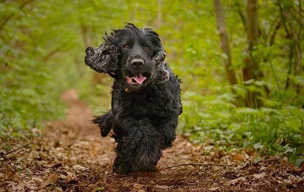Английский-кокер-спаниель-собака-Описание-особенности-уход-содержание-и-цена-породы-8
