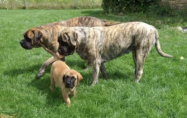 Английский-мастиф-собака-Описание-особенности-виды-содержание-уход-и-цена-породы-11