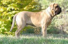 Английский мастиф собака. Описание, особенности, виды, содержание, уход и цена породы