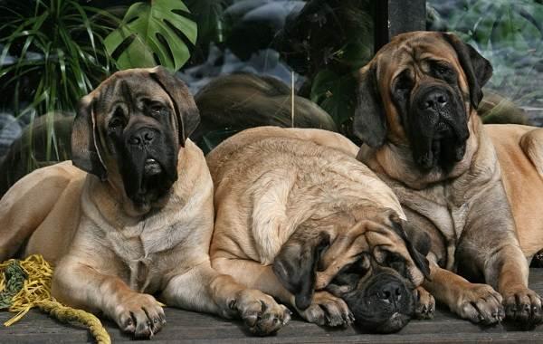 Английский-мастиф-собака-Описание-особенности-виды-содержание-уход-и-цена-породы-7