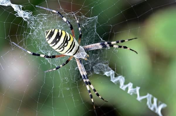 Аргиопа-паук-Описание-особенности-виды-образ-жизни-и-среда-обитания-аргиопы-1