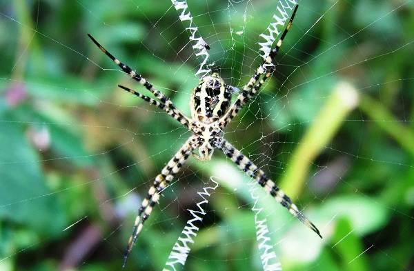 Аргиопа-паук-Описание-особенности-виды-образ-жизни-и-среда-обитания-аргиопы-10